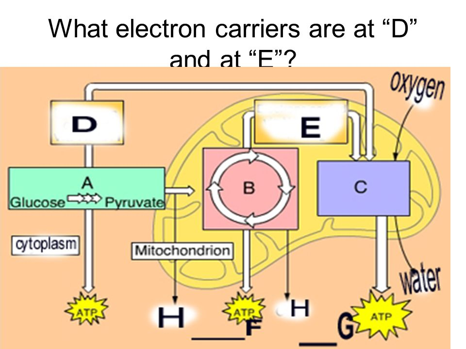 As e- go down the ETC, do they do it….Gradually (step by step) OR Quickly (all at once).
