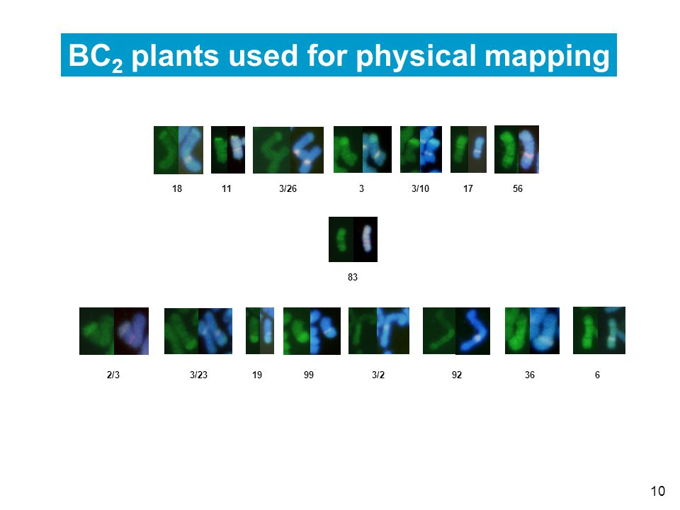 10 18 11 3/26 3 3/10 17 56 83 2/3 3/23 19 99 3/2 92 36 6 BC 2 plants used for physical mapping