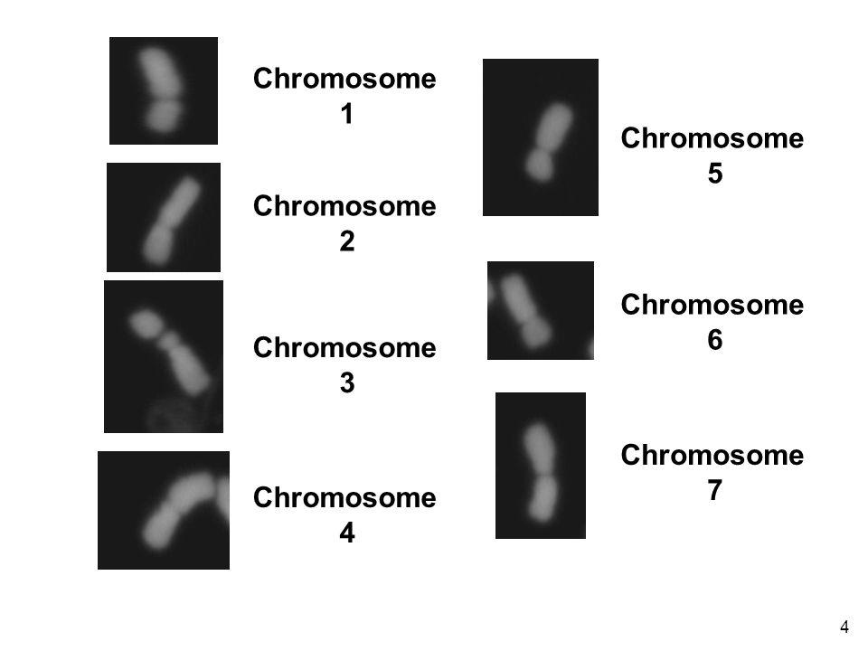 4 Chromosome 1 Chromosome 2 Chromosome 3 Chromosome 4 Chromosome 5 Chromosome 6 Chromosome 7