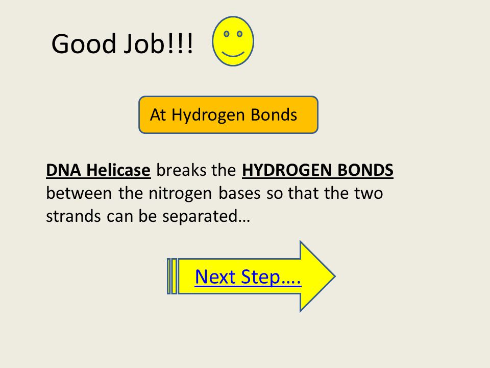 Good Job!!! DNA Helicase breaks the HYDROGEN BONDS between the nitrogen bases so that the two strands can be separated… Next Step…. At Hydrogen Bonds
