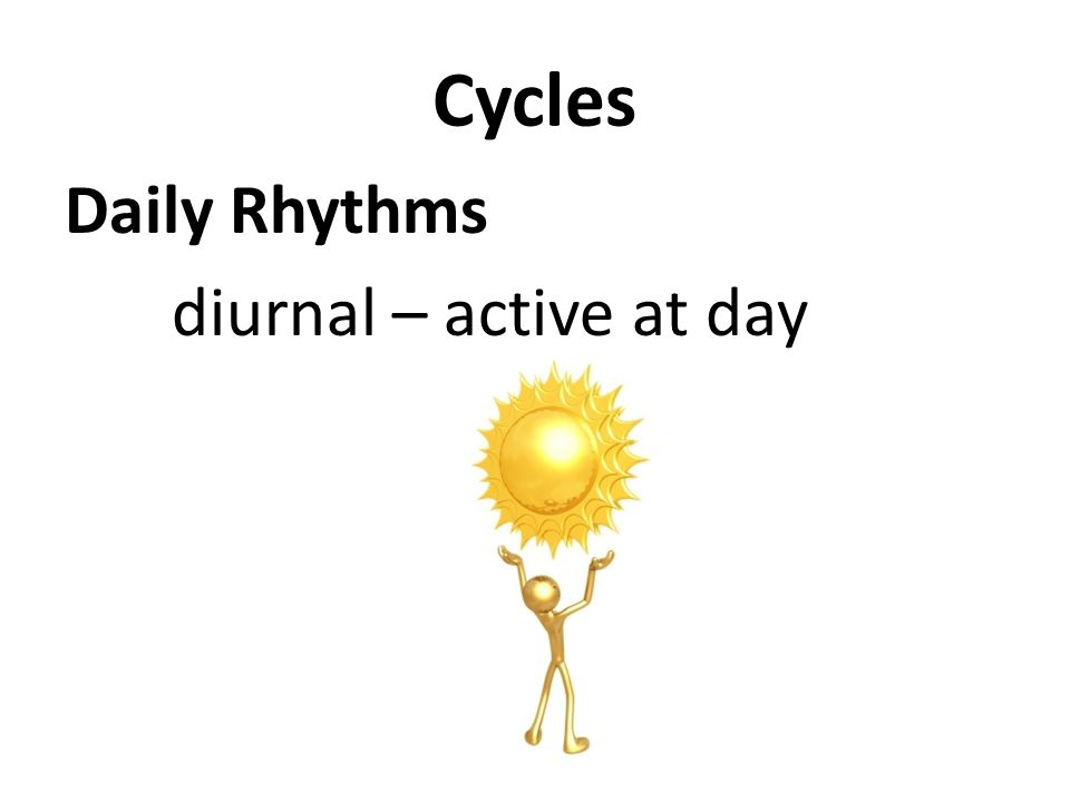 Cycles Daily Rhythms diurnal – active at day