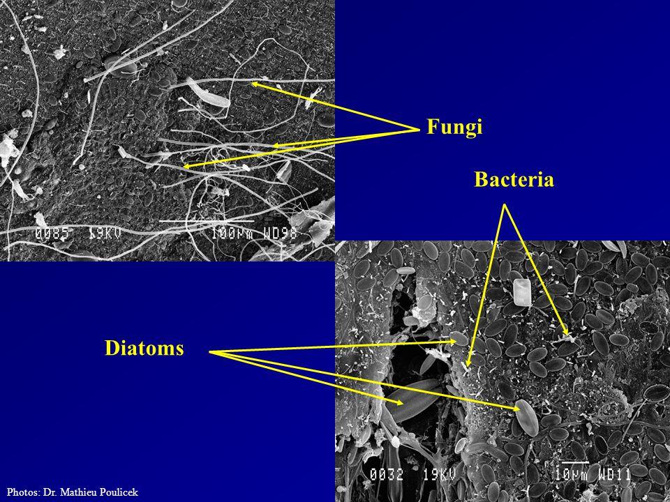 Photos: Dr. Mathieu Poulicek Fungi Diatoms Bacteria