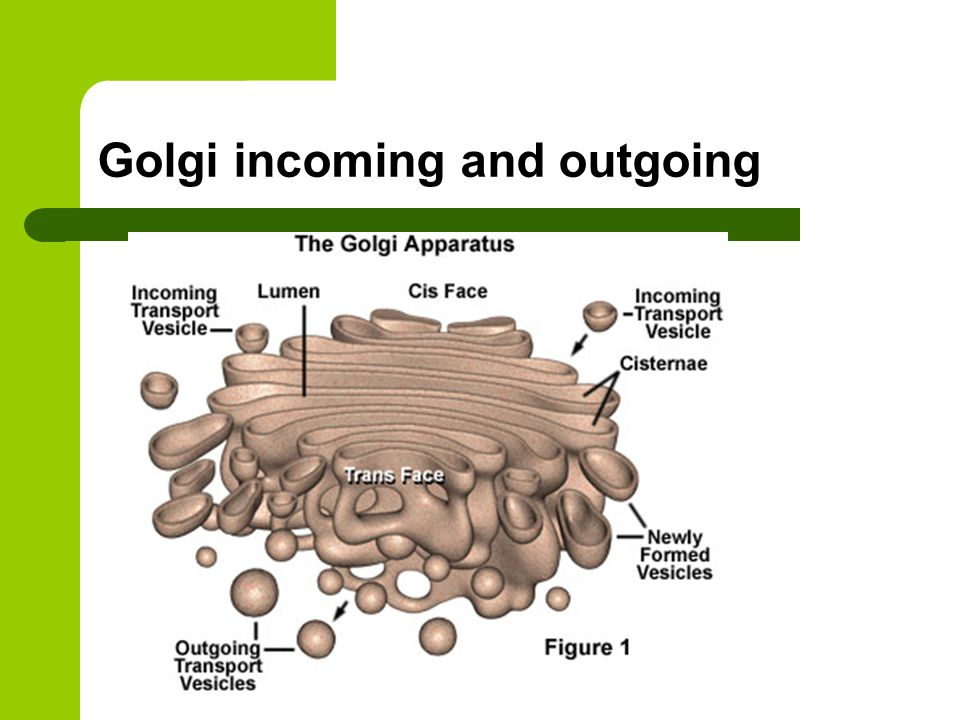 Golgi incoming and outgoing