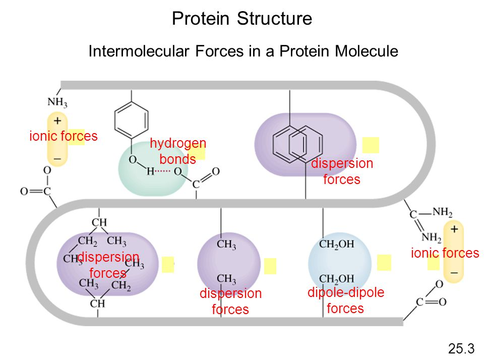 Protein Structure 25.3 Intermolecular Forces in a Protein Molecule ionic forces hydrogen bonds dispersion forces dispersion forces dispersion forces dipole-dipole forces