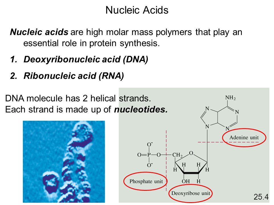 Nucleic Acids Nucleic acids are high molar mass polymers that play an essential role in protein synthesis.