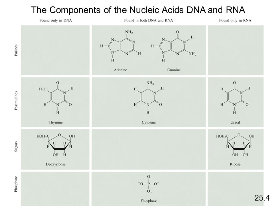The Components of the Nucleic Acids DNA and RNA 25.4