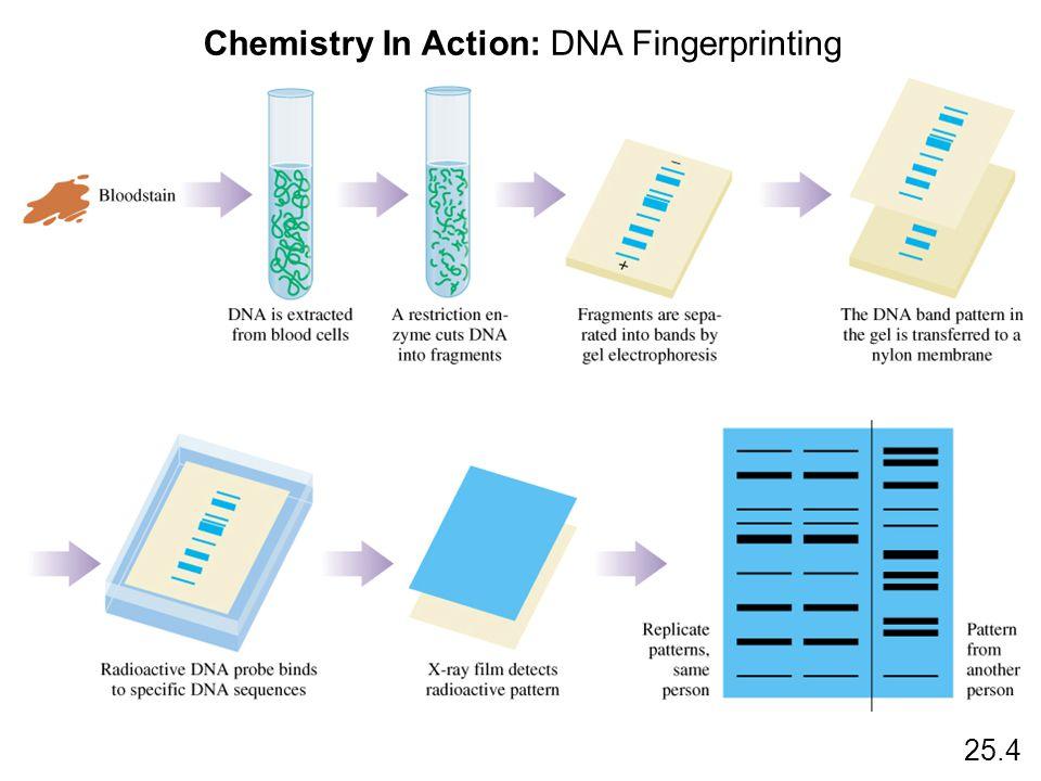 Chemistry In Action: DNA Fingerprinting 25.4