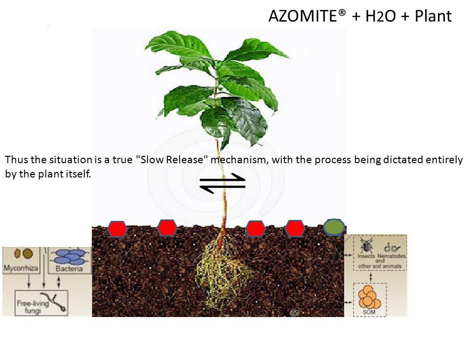 AZOMITE® + H 2 O Thus the situation is a true Slow Release mechanism, with the process being dictated entirely by the plant itself.