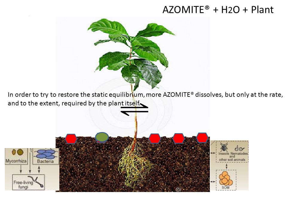 AZOMITE®+ H 2 O As soon as a plant is introduced into the soil, the plant begins to take up some of the dissolved elements of AZOMITE®, thereby distur
