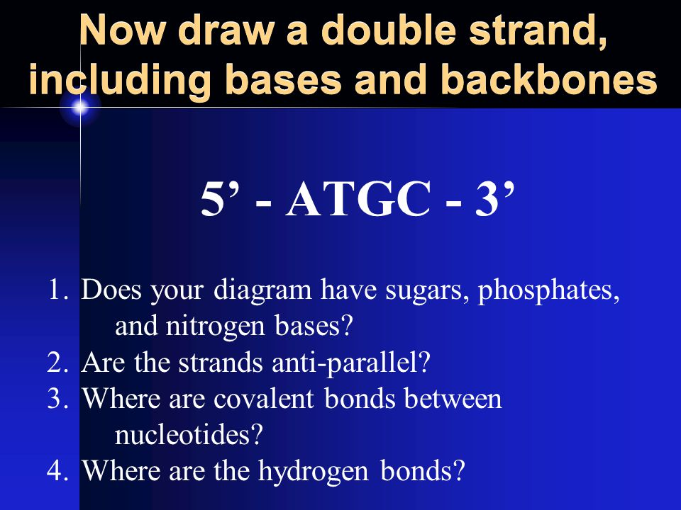 Now draw a double strand, including bases and backbones 5' - ATGC - 3' 1.Does your diagram have sugars, phosphates, and nitrogen bases.