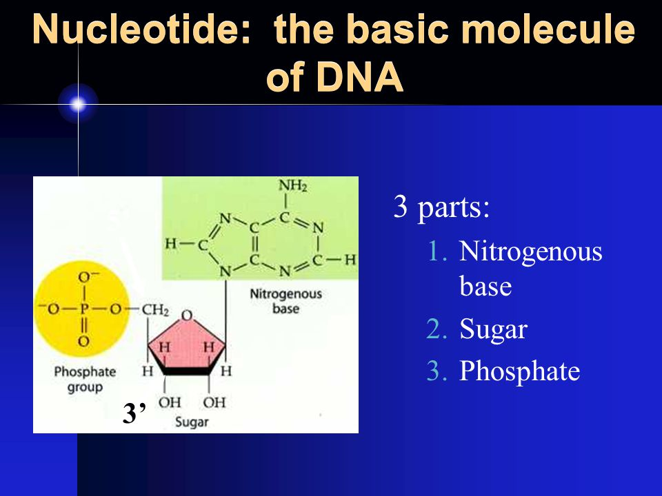 Nucleotides: 4 bases The nucleotides in DNA use 4 different bases: 1.GuanineG 2.CytosineC 3.AdenineA 4.ThymineT * Just think G-CAT, you know that rapper