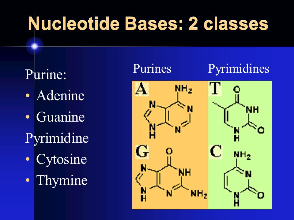 Nucleotide Bases: 2 classes Purine: Adenine Guanine Pyrimidine Cytosine Thymine Purines Pyrimidines