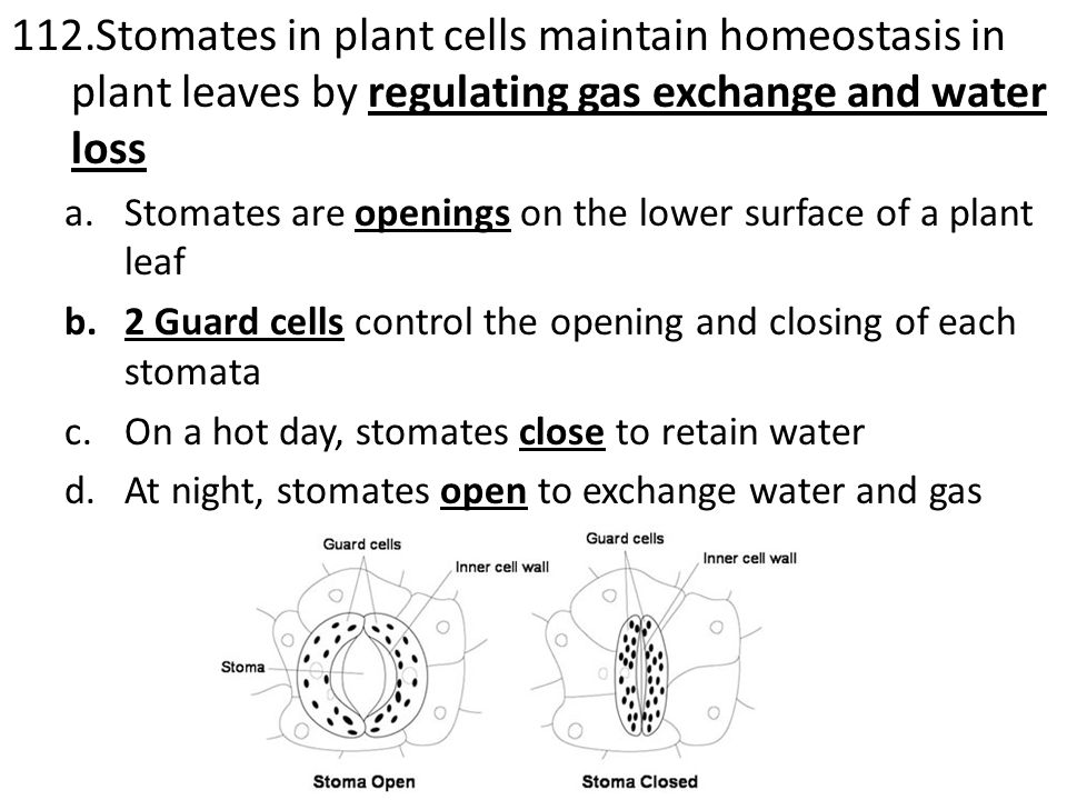 112.Stomates in plant cells maintain homeostasis in plant leaves by regulating gas exchange and water loss a.Stomates are openings on the lower surface of a plant leaf b.2 Guard cells control the opening and closing of each stomata c.On a hot day, stomates close to retain water d.At night, stomates open to exchange water and gas