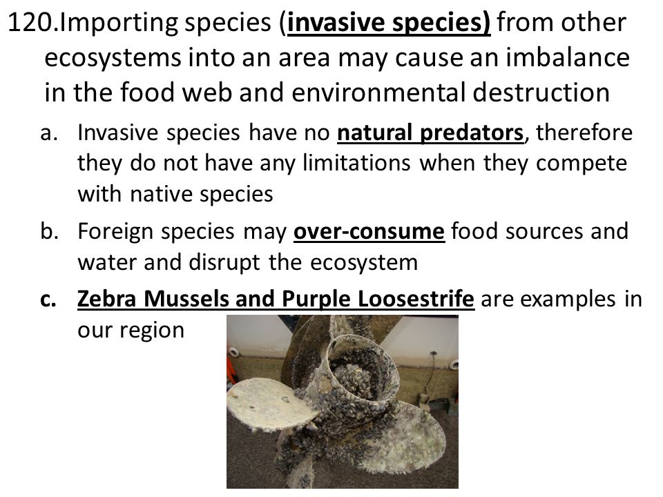 120.Importing species (invasive species) from other ecosystems into an area may cause an imbalance in the food web and environmental destruction a.Invasive species have no natural predators, therefore they do not have any limitations when they compete with native species b.Foreign species may over-consume food sources and water and disrupt the ecosystem c.Zebra Mussels and Purple Loosestrife are examples in our region