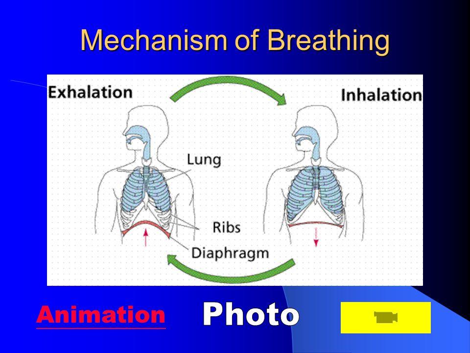 Mechanism of Breathing Animation