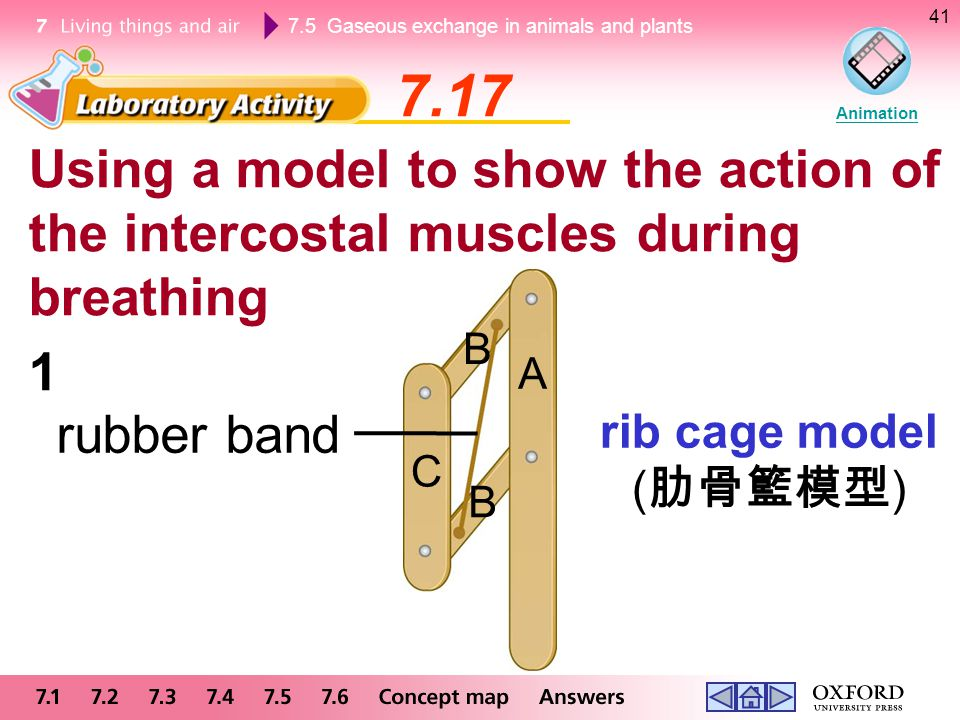 7.5 Gaseous exchange in animals and plants 41 Using a model to show the action of the intercostal muscles during breathing 7.17 Animation rib cage mod