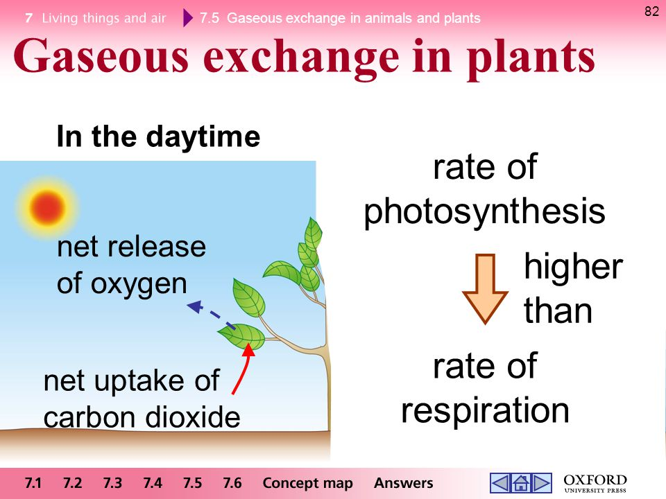 7.5 Gaseous exchange in animals and plants 82 Gaseous exchange in plants In the daytime rate of photosynthesis rate of respiration higher than net upt