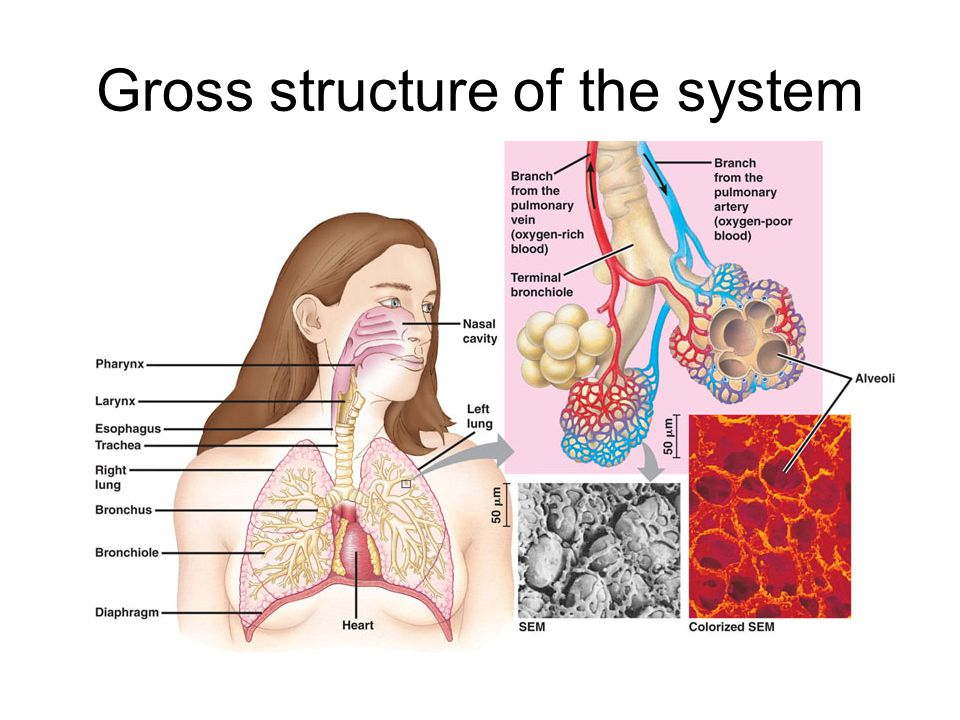 Trachea The trachea lead from the throat to the lungs At the base of the trachea lie the bronchi Cartilage is present in the trachea in the form of C shaped rings This helps to stop the airways collapsing or bursting as pressure changes Trachea on the left Oesophagus on the right