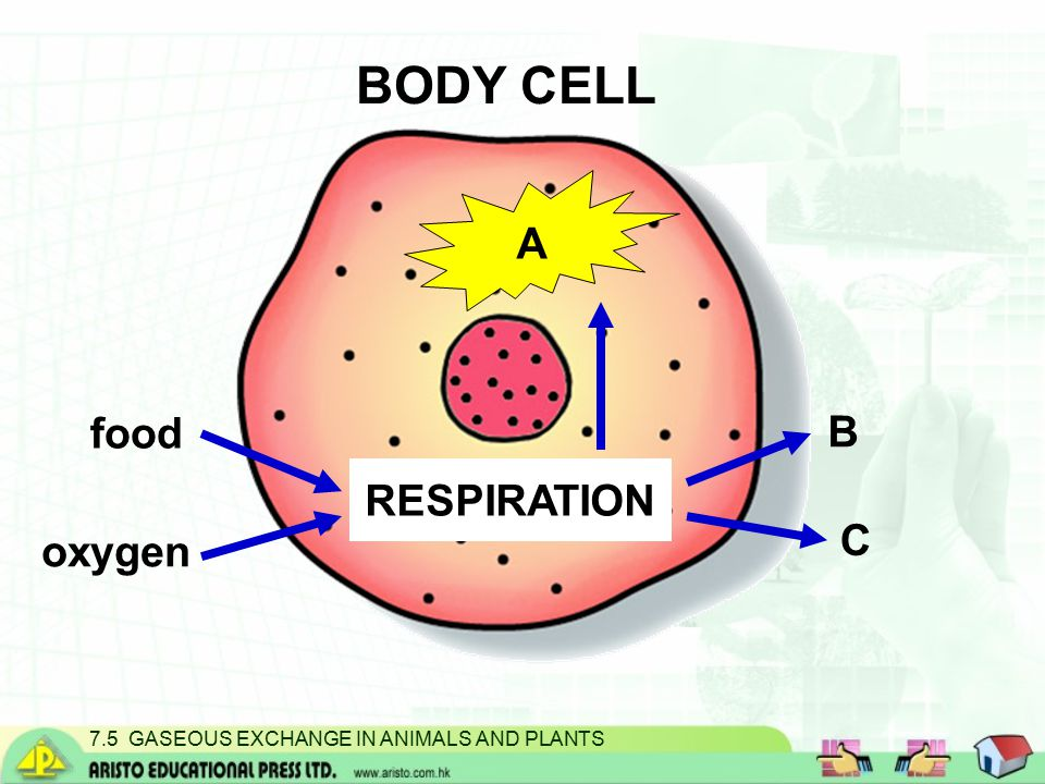BODY CELL oxygen food RESPIRATION B C A