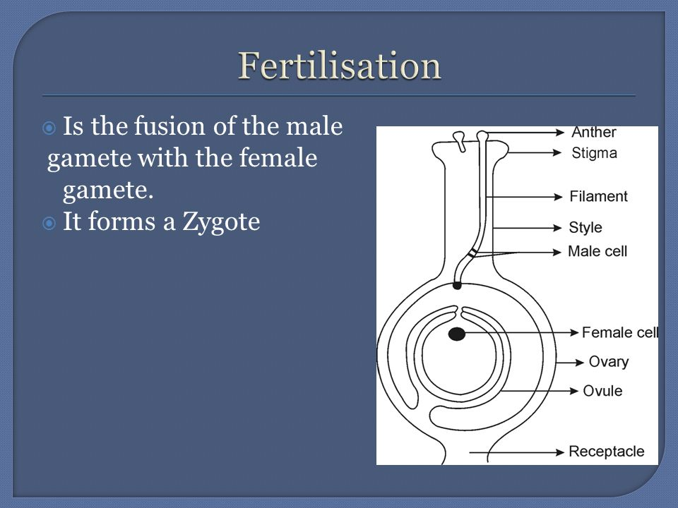 Is the fusion of the male gamete with the female gamete.  It forms a Zygote