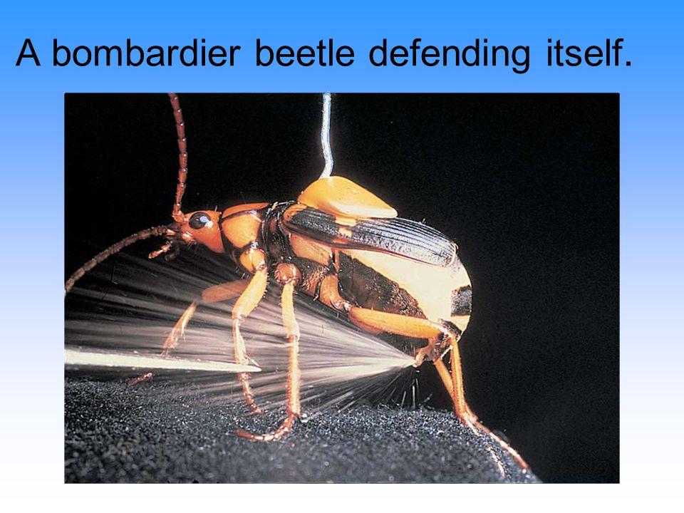 A bombardier beetle defending itself.