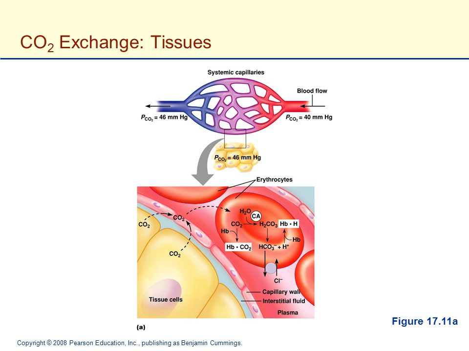 Copyright © 2008 Pearson Education, Inc., publishing as Benjamin Cummings. CO 2 Exchange: Tissues Figure 17.11a