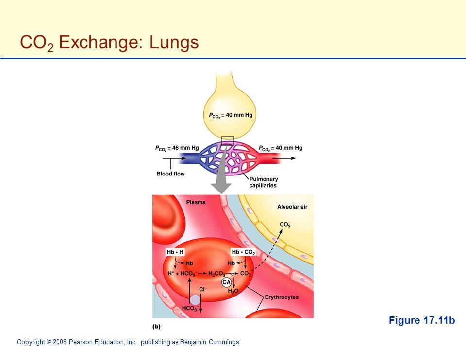 Copyright © 2008 Pearson Education, Inc., publishing as Benjamin Cummings. CO 2 Exchange: Lungs Figure 17.11b