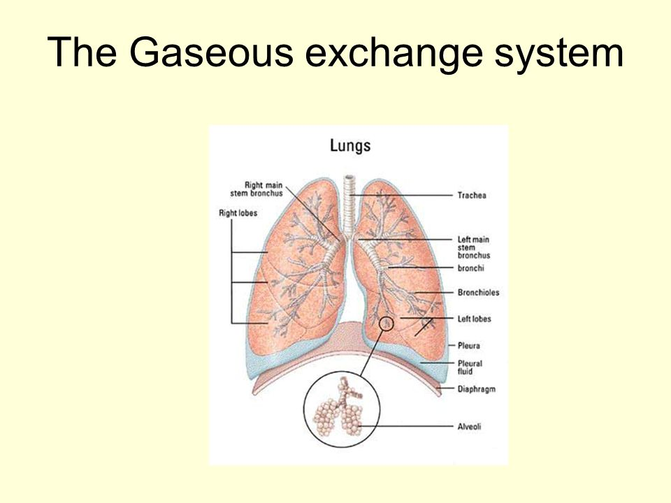 The Gaseous exchange system