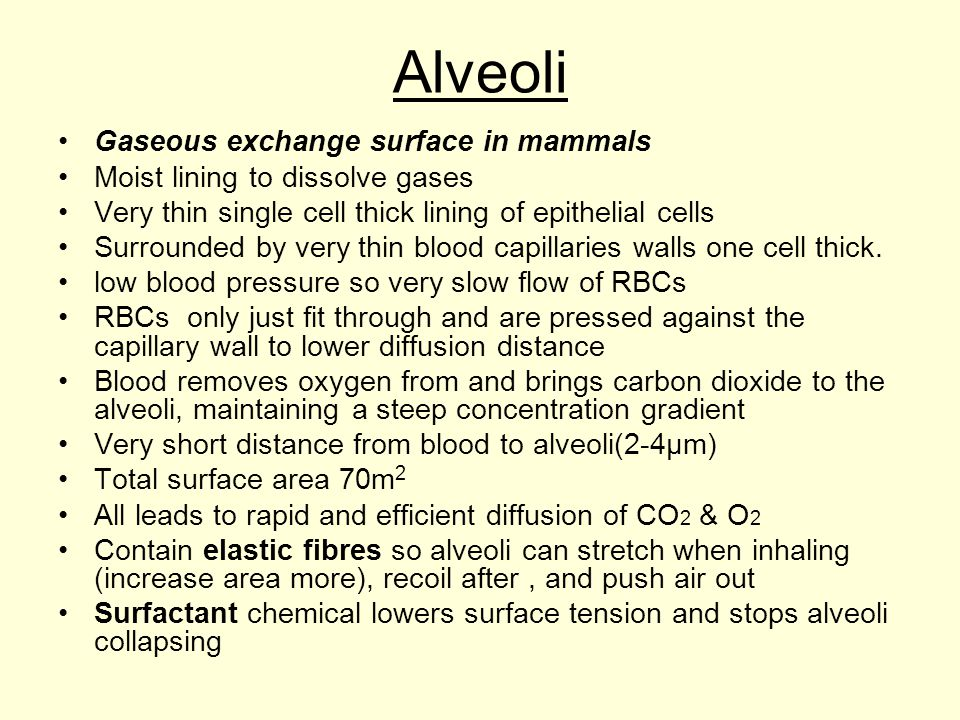Alveoli Gaseous exchange surface in mammals Moist lining to dissolve gases Very thin single cell thick lining of epithelial cells Surrounded by very t