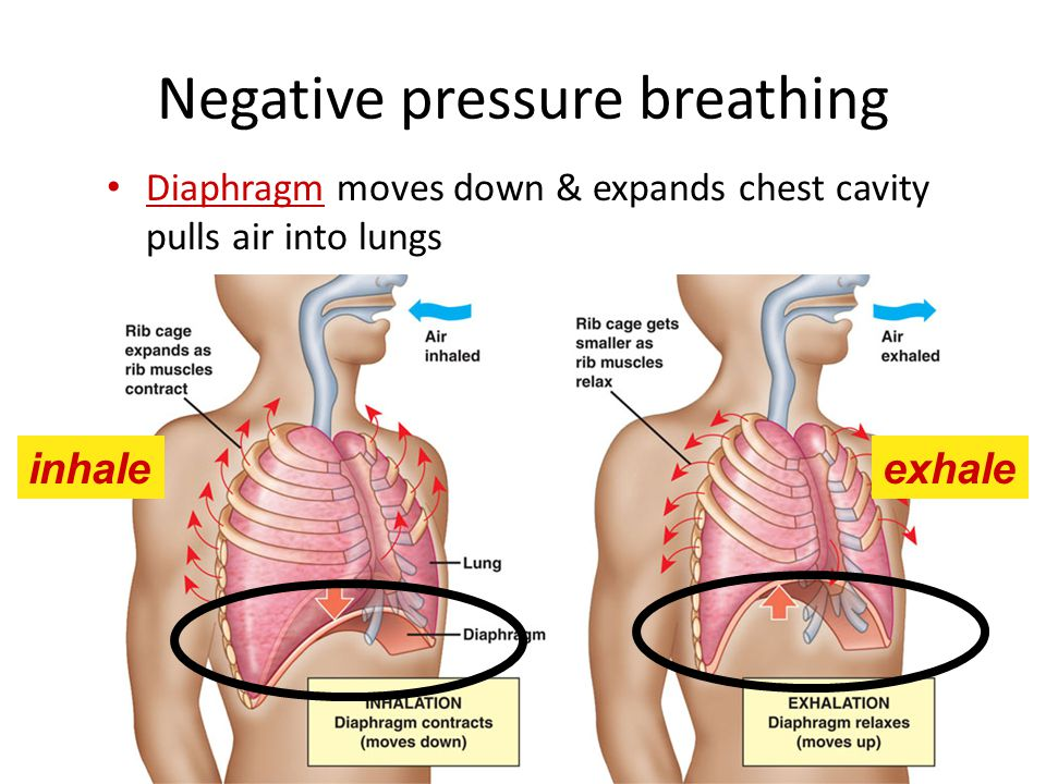 Breathing ventilates the lungs Breathing is the alternation of inhalation (active) and exhalation (passive)