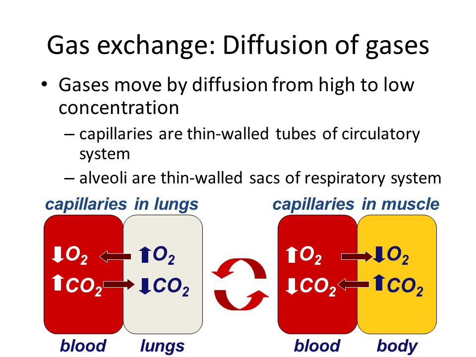 TRANSPORT OF GASES IN THE BODY Blood transports the respiratory gases, with hemoglobin carrying the oxygen The heart pumps oxygen-poor blood to the lungs – In the lungs it picks up O 2 and drops off CO 2(external respiration) – In the tissues, cells pick up CO 2 and drop off O 2-(Internal respiration) – Gases diffuse down pressure gradients in the lungs and the tissues