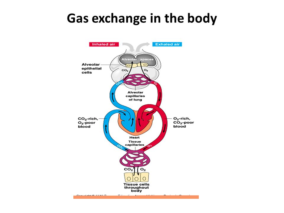 Gas exchange: Diffusion of gases Gases move by diffusion from high to low concentration – capillaries are thin-walled tubes of circulatory system – alveoli are thin-walled sacs of respiratory system bloodlungs CO 2 O2O2 O2O2 bloodbody CO 2 O2O2 O2O2 capillaries in lungscapillaries in muscle