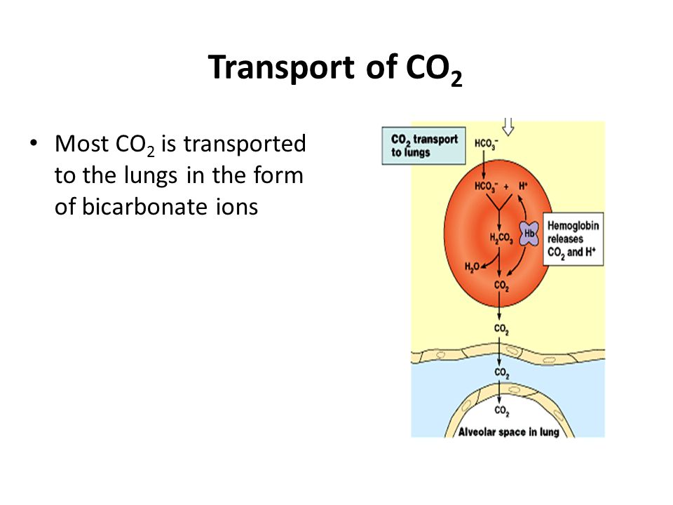 Hemoglobin helps transport CO 2 and buffer the blood Hemoglobin helps buffer the pH of blood and carries some CO 2 Most CO 2 in the blood combines wit