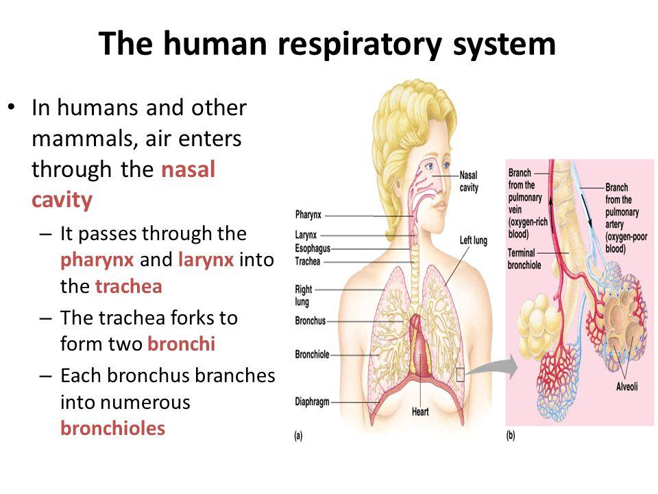 Lungs alveoli  trachea  bronchi  bronchioles  alveoli capillaries (circulatory system)