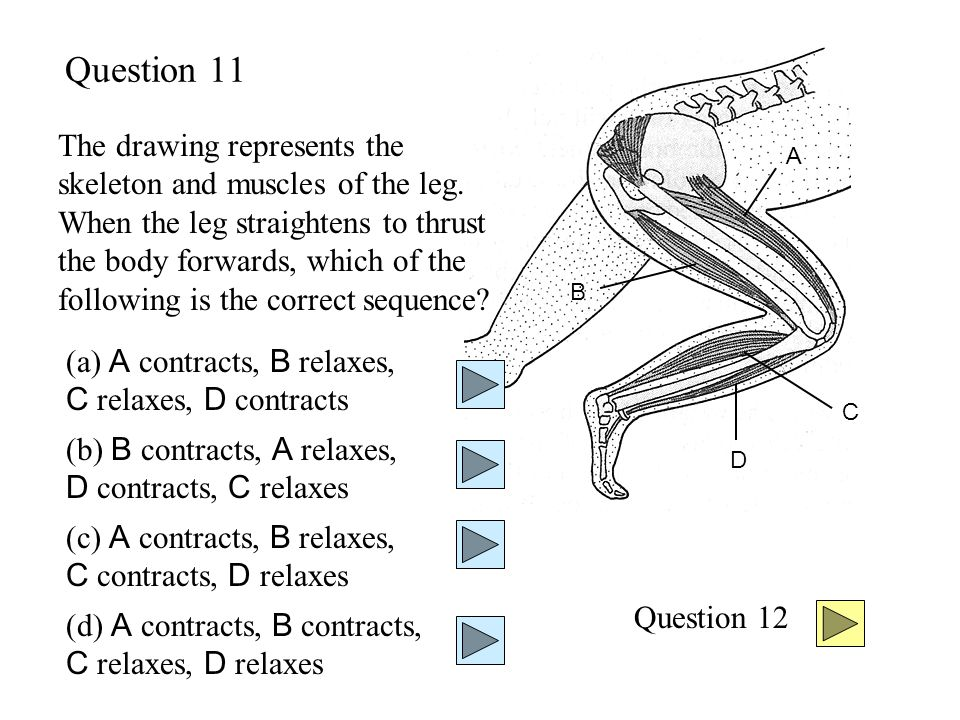 Question 11 A B C D The drawing represents the skeleton and muscles of the leg.