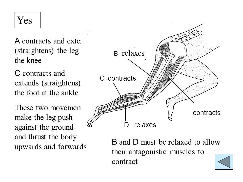 A A contracts and extends (straightens) the leg at the knee C contracts and extends (straightens) the foot at the ankle These two movements make the leg push against the ground and thrust the body upwards and forwards B and D must be relaxed to allow their antagonistic muscles to contract B C D contracts relaxes contracts relaxes Yes