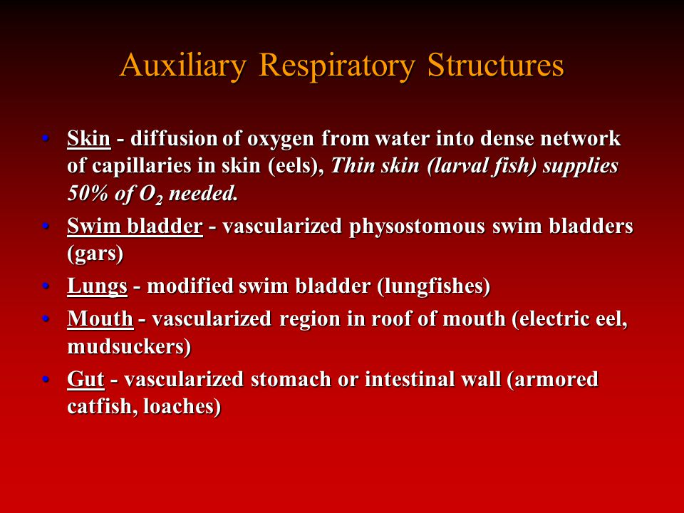 Auxiliary Respiratory Structures Skin - diffusion of oxygen from water into dense network of capillaries in skin (eels), Thin skin (larval fish) supplies 50% of O 2 needed.Skin - diffusion of oxygen from water into dense network of capillaries in skin (eels), Thin skin (larval fish) supplies 50% of O 2 needed.