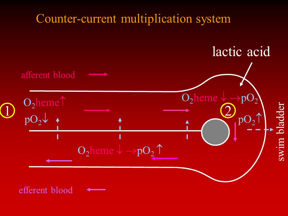 Counter-current multiplication system afferent blood efferent blood O 2 heme  pO2pO2 O 2 heme   pO 2 pO2pO2 swim bladder O 2 heme   pO 2  lactic acid 12