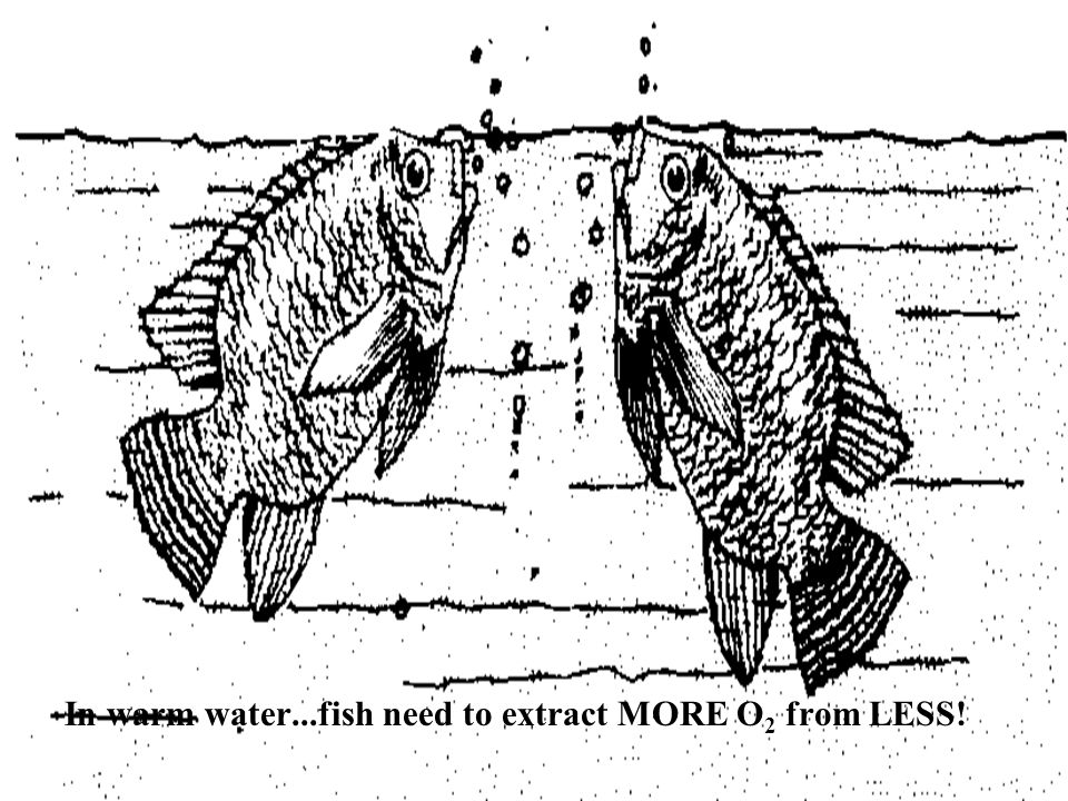 In warm water...fish need to extract MORE O 2 from LESS!