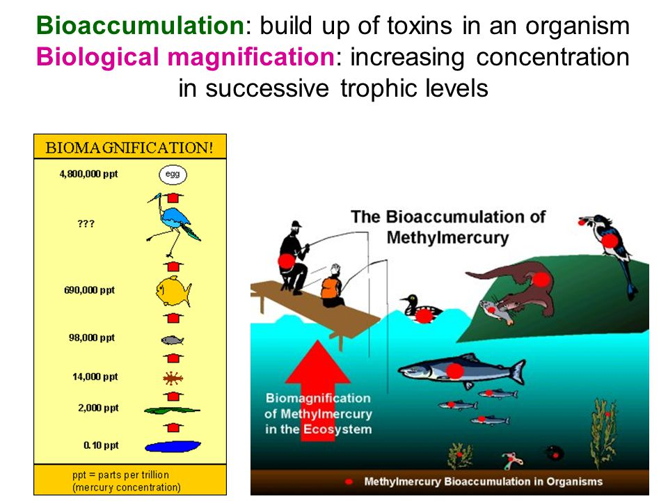 Bioaccumulation: build up of toxins in an organism Biological magnification: increasing concentration in successive trophic levels