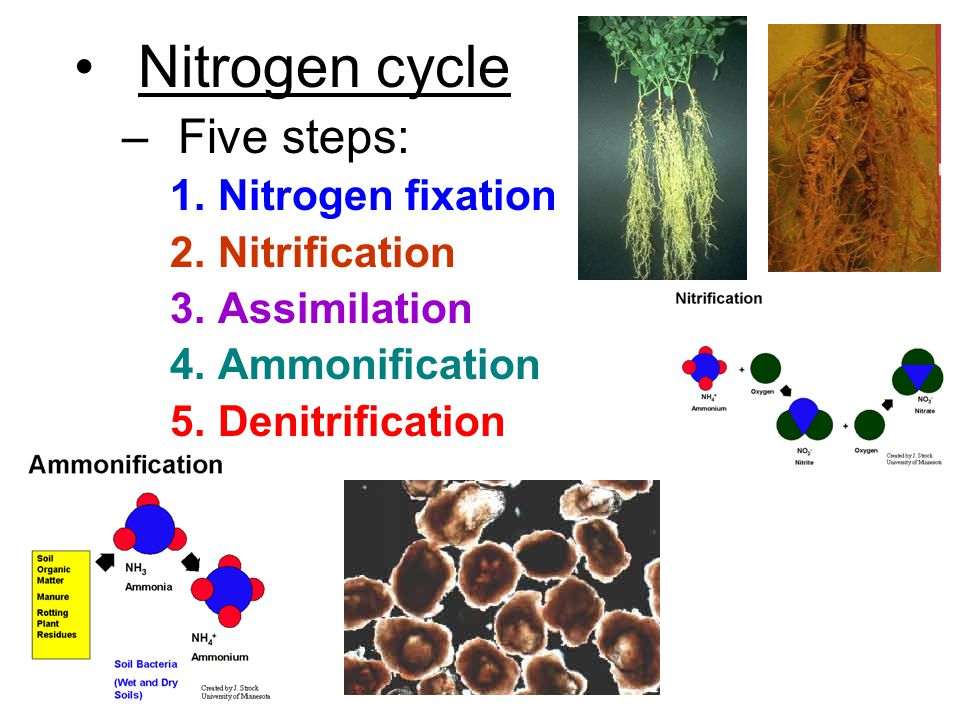 Nitrogen cycle –Five steps: 1.Nitrogen fixation 2.Nitrification 3.Assimilation 4.Ammonification 5.Denitrification