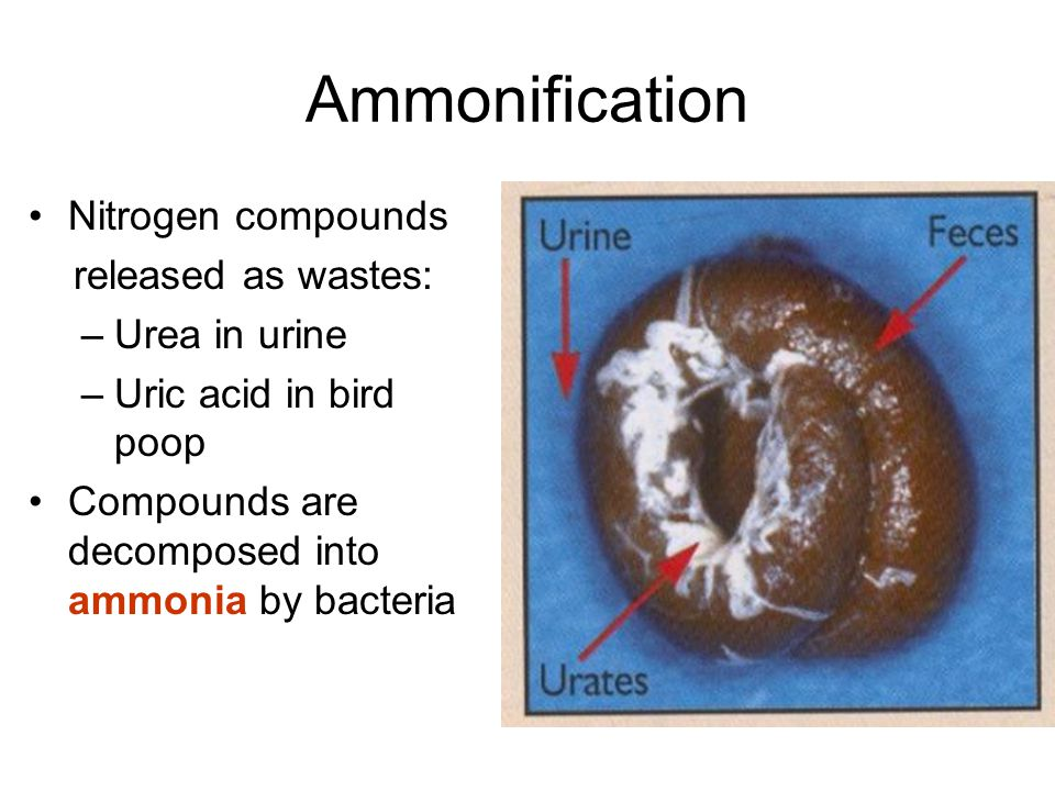 Ammonification Nitrogen compounds released as wastes: –Urea in urine –Uric acid in bird poop Compounds are decomposed into ammonia by bacteria