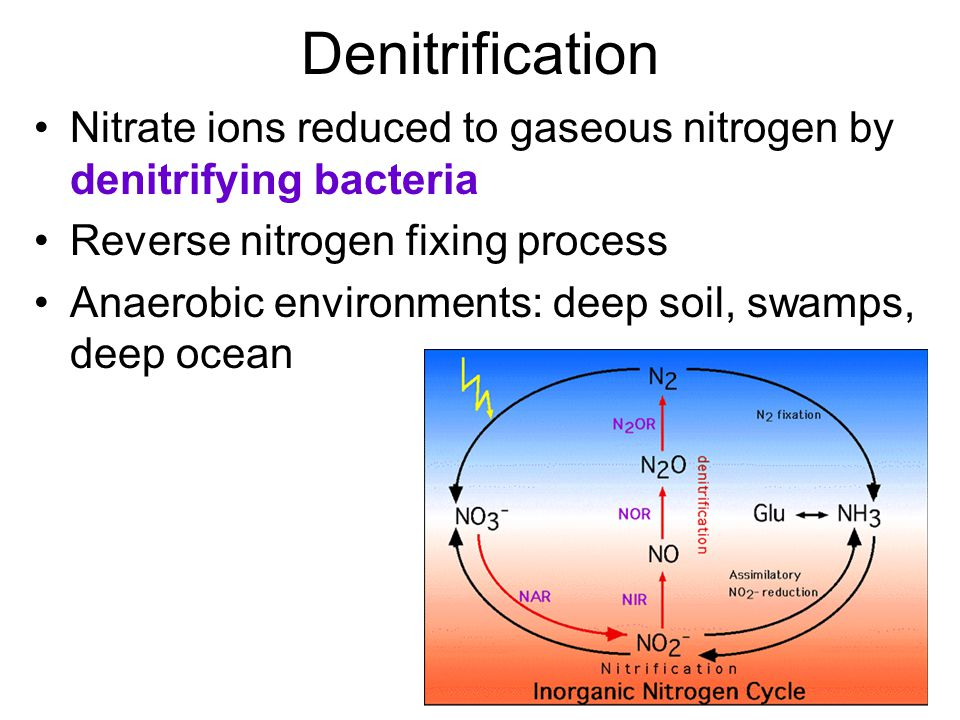 Denitrification Nitrate ions reduced to gaseous nitrogen by denitrifying bacteria Reverse nitrogen fixing process Anaerobic environments: deep soil, swamps, deep ocean