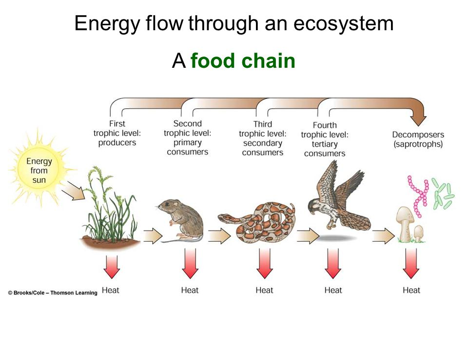 Food chains, webs, & trophic levels.
