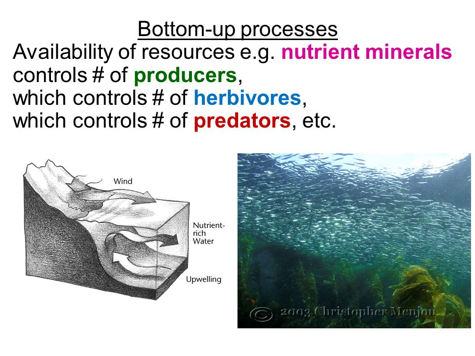 Bottom-up processes Availability of resources e.g. nutrient minerals controls # of producers, which controls # of herbivores, which controls # of pred