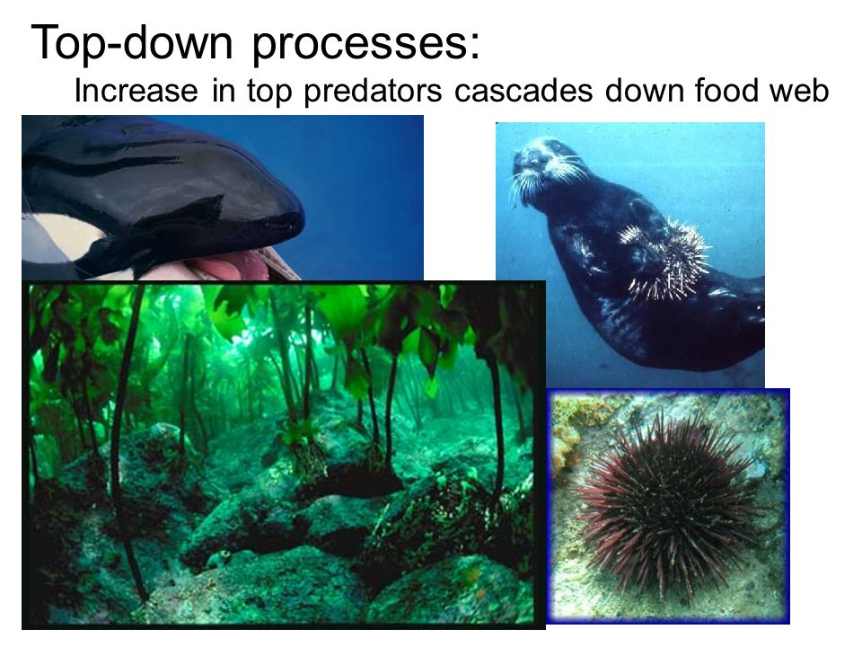 Top-down processes: Increase in top predators cascades down food web
