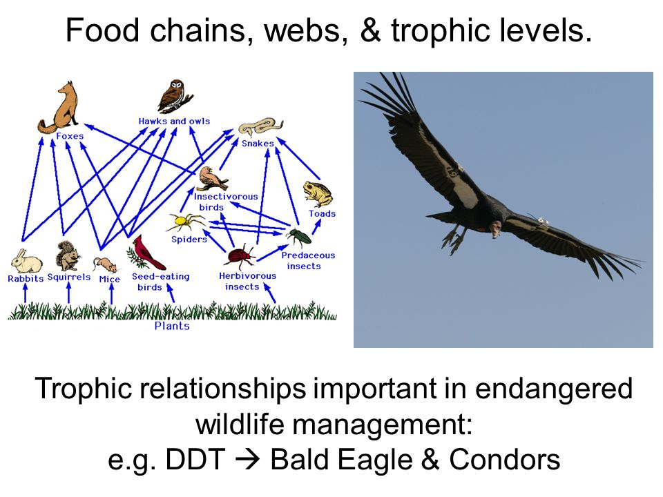Trophic relationships important in endangered wildlife management: e.g. DDT  Bald Eagle & Condors
