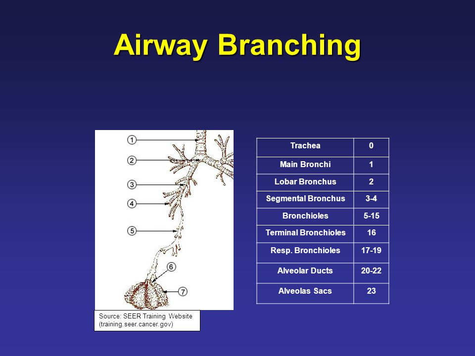 Airway Branching Trachea0 Main Bronchi1 Lobar Bronchus2 Segmental Bronchus3-4 Bronchioles5-15 Terminal Bronchioles16 Resp.