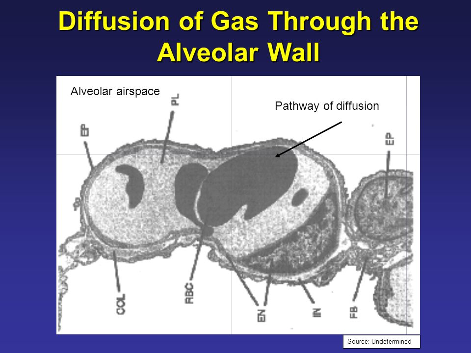 Pathway of diffusion Diffusion of Gas Through the Alveolar Wall Alveolar airspace Source: Undetermined