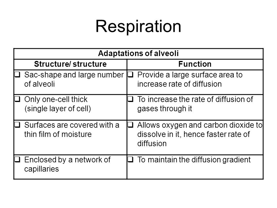 Respiration Adaptations of alveoli Structure/ structureFunction  Sac-shape and large number of alveoli  Provide a large surface area to increase rat